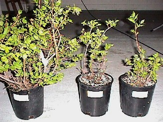 Two-three year old plants