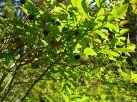 Black huckleberries