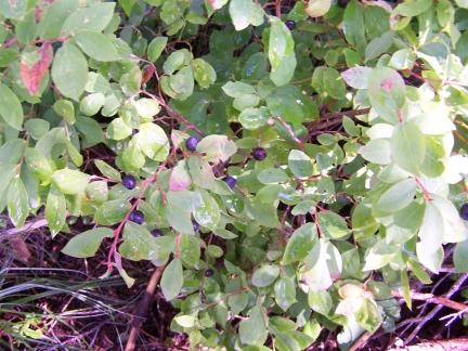 huckleberries-3