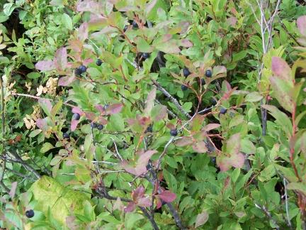 huckleberries-4