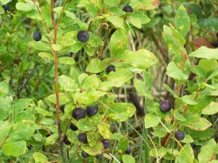 huckleberries-6