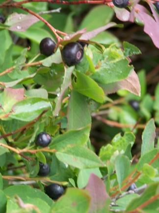 huckleberries-7