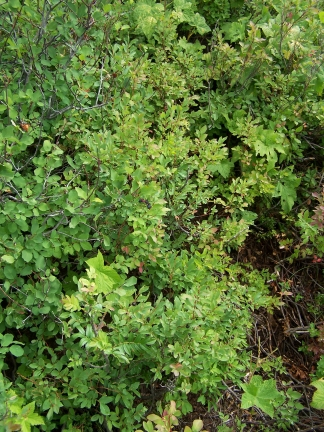 huckleberry-patch-3
