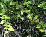 Vaccinium Ovatum fruit