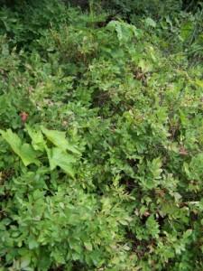 Huckleberry Picking Update