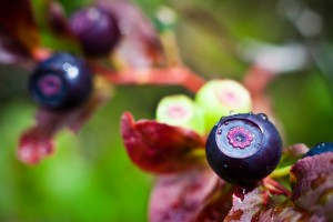 Northwest Wild Food on Huckleberries