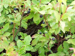 Huckleberries and Blueberries