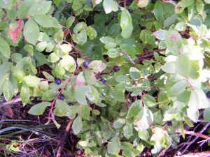 More on the Huckleberry Season in Montana
