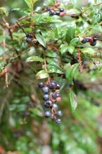 Late Season Huckleberry Stories